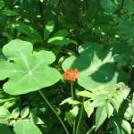 サンゴアブラギリ 花と植物の様子