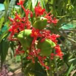Coral Plant サケバヤトロファ