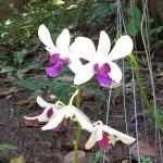 デンファレ 花の様子