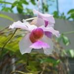 カトレア 花の姿