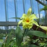 カトレア 黄色の花