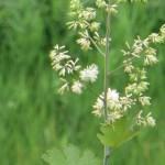 タケニグサ 花の様子