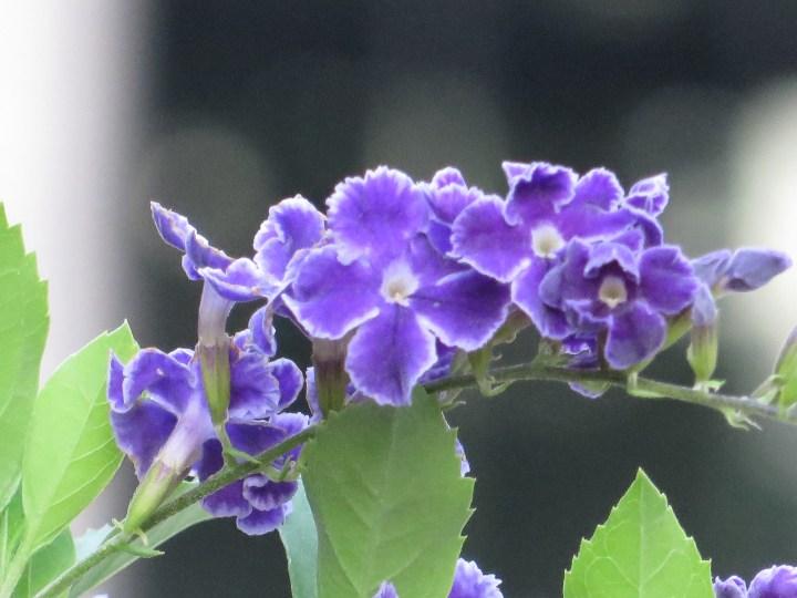 タイワンレンギョウ 花のアップ