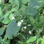ユウガギク 花の咲いている植物の様子