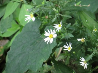 ユウガギク 花の様子
