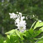 フジ 夏に咲いていた白い藤