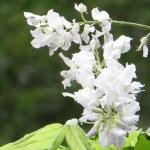 フジ 夏に咲いていた白い藤(アップ)