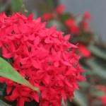 サンタンカ 花のアップ