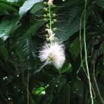 サガリバナ 花の様子