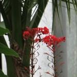 ヒギリ 花の咲いている様子