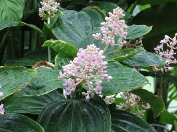 サンゴノボタン 若い花の様子
