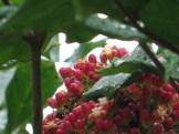 リーア・コッキネア 花の様子