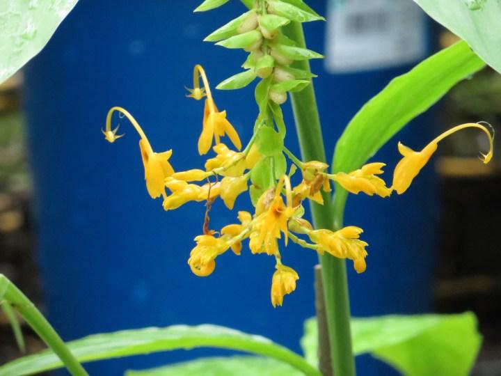 グロッバ・ウィニティ 黄色の花の姿