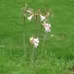ホンアマリリス 花の咲いている植物の様子