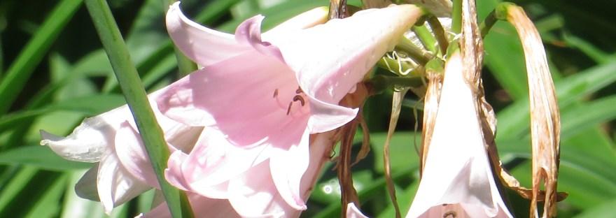 Belladonna-lily/ ホンアマリリス