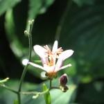 タイワンホトトギス 花の姿