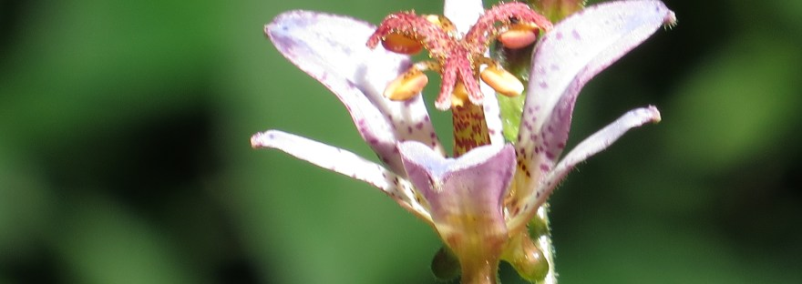 Taiwanese toad lily/ タイワンホトトギス