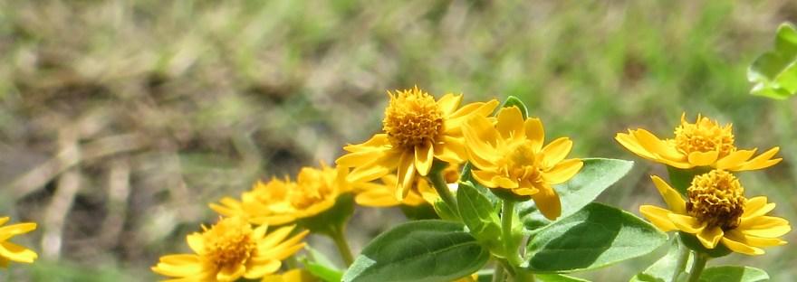 メランポデューム 花の様子