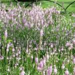 ツルボ  花の咲いている様子