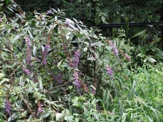 トウフジウツギ 花の咲いている植物の姿