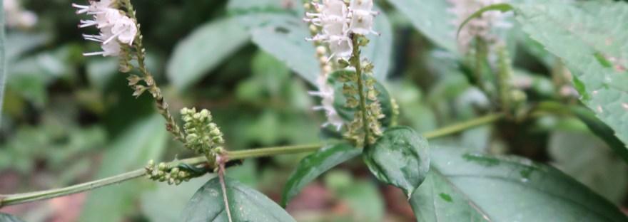 Keiskea japonica/ シモバシラ
