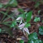 マヤラン 花の咲いている植物の様子