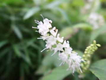 シモバシラ 花のアップ