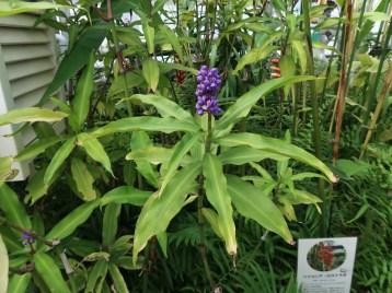 ディコリサンドラ・ティルシフローラ 花の咲いている植物の様子