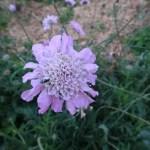 スカビオサ マツムシソウ 花のアップ