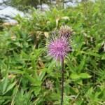 アザミ タイアザミの花
