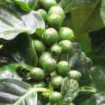 アラビアコーヒー 若いコーヒーの実のアップ
