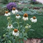 エキナセア 少し花びらのたれた白色のエキナセア
