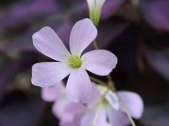 オキザリス ・トライアングラリス 花のアップ