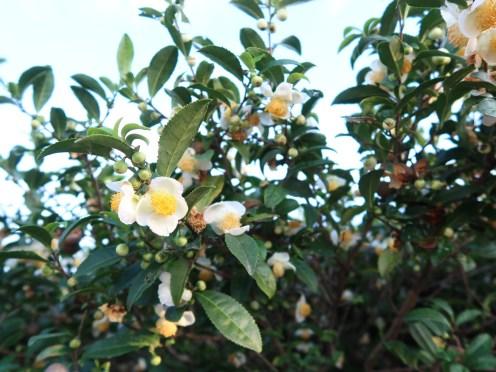チャ 花の咲いている木の様子