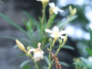 白花のキョウチクトウ アップ