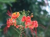 ピーコックフラワー オオゴチョウ 花の姿