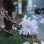 都心のジュウガツザクラ 花のアップ