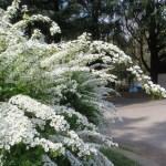 Thunberg's meadowsweet/ ユキヤナギ