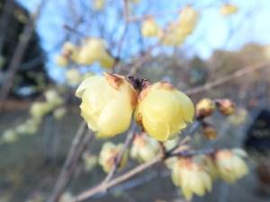 ソシンロウバイ 花のアップ