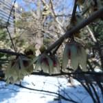 ロウバイ 雪の中咲くロウバイ