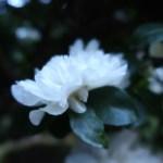 サザンカ 白い花の姿