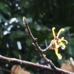 シナマンサク 雪の中咲く花
