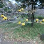 サンシュユ 咲き始めの木の様子