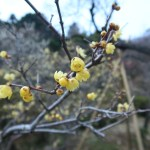 ソシンロウバイ 花の様子