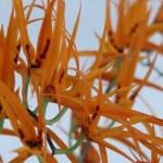 Brassia/ ブラッシア