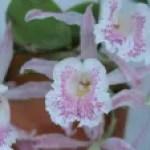 Trichopilia/ トリコピリア