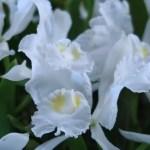 カトレア C. lueddemanniana fma. alba