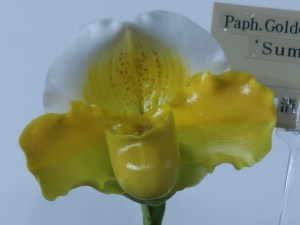 パフィオペディルム Paph. Golden Shell