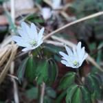 アズマイチゲ 花と草の姿