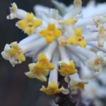 ミツマタ 花のアップ